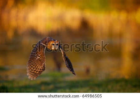 A tawny owl flying with a autumn colour background