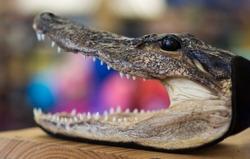 A taxidermy crocodile head I found in an antiques shop.
