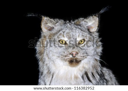 A taxidermy mount of a Lynx Canadensis over black