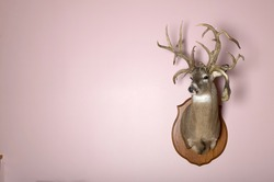 A taxidermy mounted stag head with antlers on a blank pink wall with copy space.