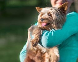 A teenage girl holding her pet Yorkshire terrier on her hands. A happy dog with tongue hanging out. Dog and human friendship,
