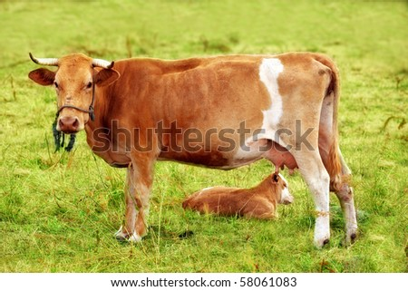A telephoto of a cow on a field