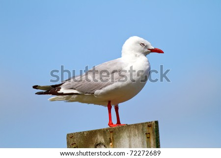 A telephoto of a sea gull, New Zealand