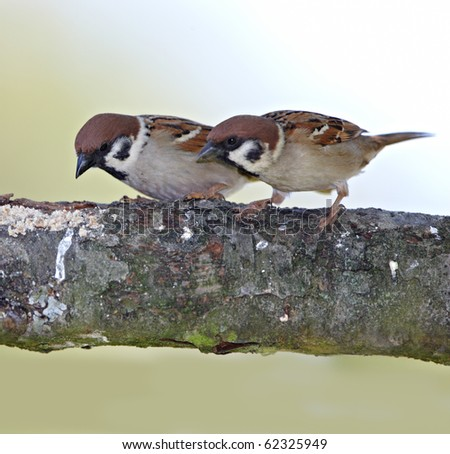 A telephoto of two sparrows