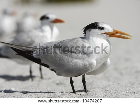 A tern stands facing the wind on a Florida Gulf Coast beach.