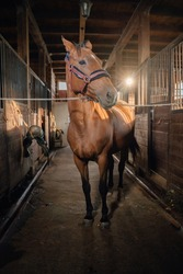 A tethered horse stands in the stable aisle. Horse portrait in the barn.