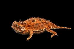 A Texas horned lizard and black background