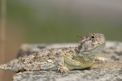 A Texas horned lizard from Western Kansas.