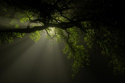 A Texas live oak tree branch is silhouetted in front of a street light. Beams of light push through the dense fog at night.