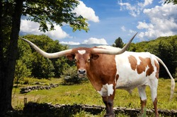 A Texas Longhorn bull stands majestically in front of a meadow and pasture areas to graze in.