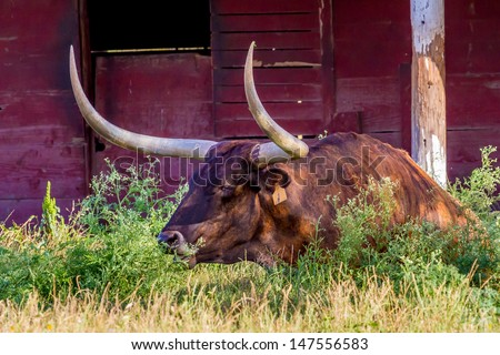 A Texas Longhorn Lounging in a Pasture with a Red Barn in Texas.
