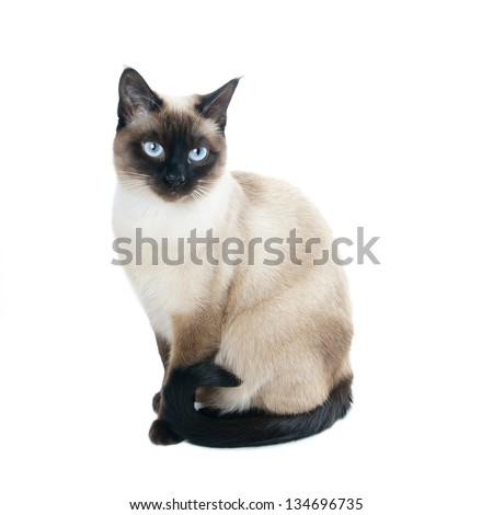 a thai cat is a traditional or old-style siamese cat #134696735