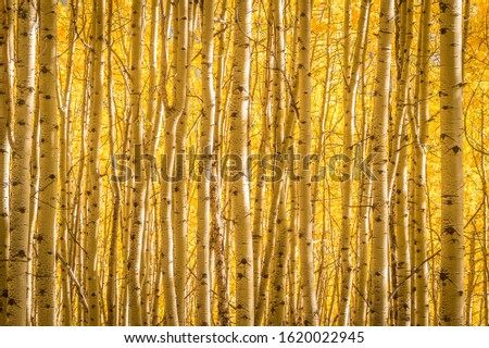 Photo of  A thick stand of aspen trees on a sunny afternoon in Uncompaghre National Forest, Colorado.