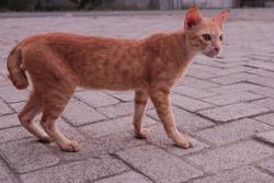 A thin orange village cat.