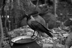 A Thirsty Crow searching for water