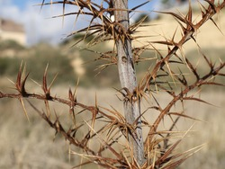 A thorny plant native to the mountains of Cyprus.