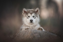 A three-month-old puppy of Alaskan malamute peeping from behind a stone with his paws on it against the backdrop of a spring pine forest and sunset