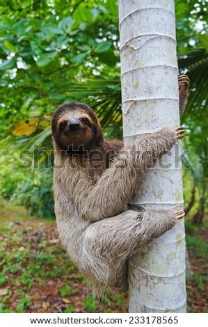 A three-toed sloth climbing on a tree, Panama, Central America