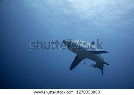 A thresher shark approaches the viewer cautiously