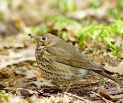 A thrush chorister on the ground in a park close