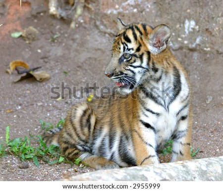 A tiger cub of mixed Bengal and Siberian parentage playing in its enclosure