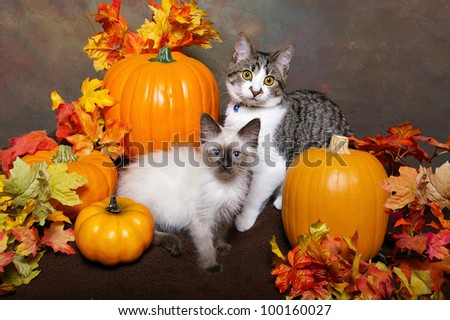 A tiger kitten and a himalayan kitten sit between pumpkins and autumn leaves