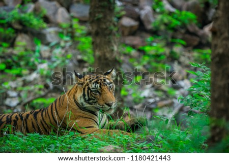 A tiger resting in monsoon rains and lush green park at ranthambore national park #1180421443