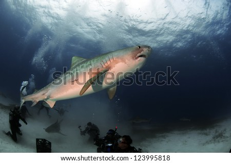 A tiger shark cruising the waters of the Bahamas