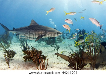 A tiger shark swimming through a school of fish.