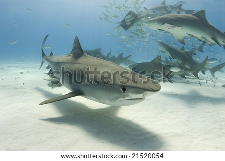 A Tiger Shark swims by the camera as Lemon Sharks frenzy for their share of food in the background
