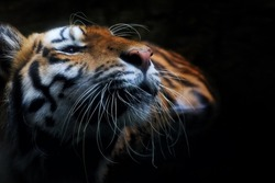 A tiger sit in the water in the dark night