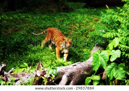 A tiger standing on green grassland in Taiping Zoo, Malaysia.