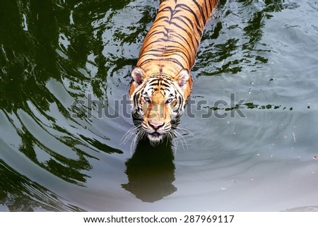 A tiger Walking Through in a water pool /Tiger in a water pool