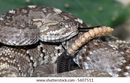 A tightly coiled and rattling blacktail rattlesnake.