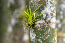 a tillandsia, an epiphyte plant that grows on trees mainly in tropical zones