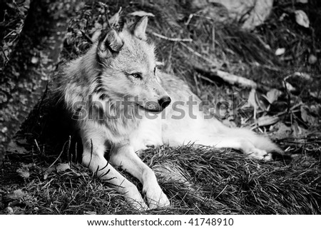 A timber wolf relaxing on a grassy hill in black and white.