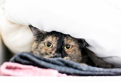 A timid Tortoiseshell domestic shorthair cat with dilated pupils peeking out from under a blanket