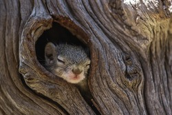 A tiny baby Tree Squirrel sleeping while its head is peeping out the nest