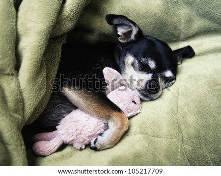 a tiny chihuahua cuddling with his pink bunny stuffed animal toy #105217709