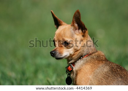 a tiny chihuahua gazing off while sitting outside in the grass