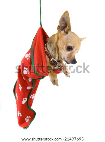 a tiny chihuahua in a christmas stocking
