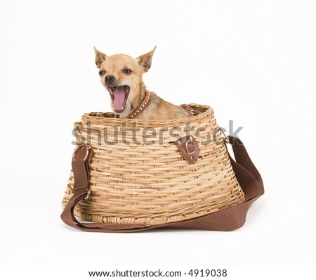 a tiny chihuahua in a fishing creel