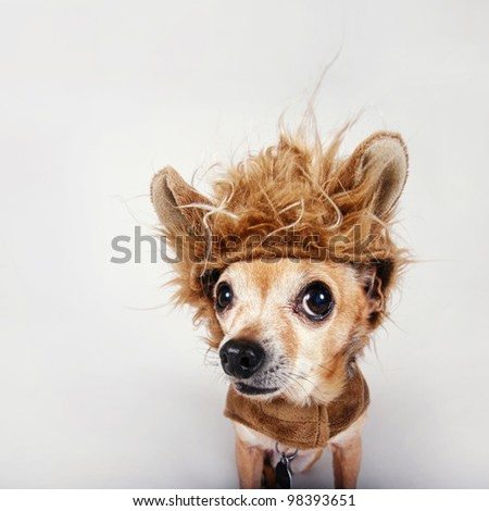 a tiny chihuahua in a lion costume