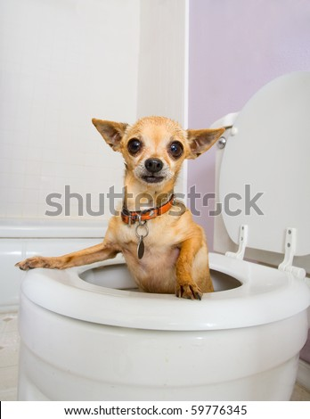 a tiny chihuahua in a toilet (THE WATER WAS DRAINED OUT)