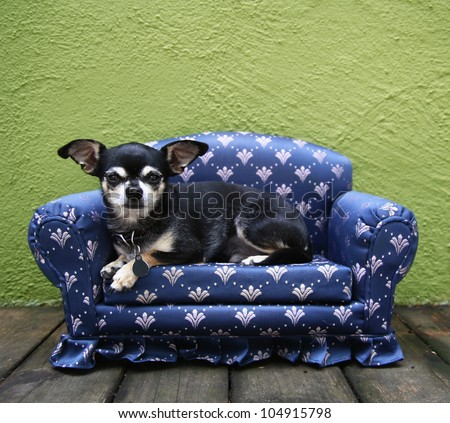 a tiny chihuahua lying on a couch