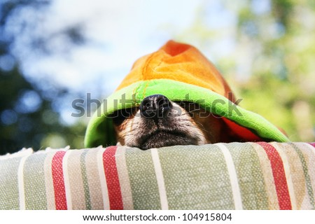 a tiny chihuahua lying on a pet bed with a hoodie on #104915804