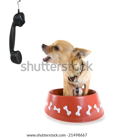 a tiny chihuahua placing an order on the phone!