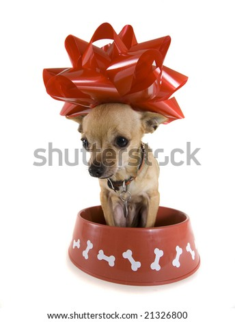 a tiny chihuahua sitting in a big red bowl