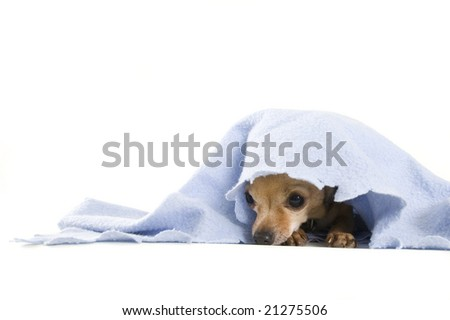 a tiny chihuahua under a blue blanket