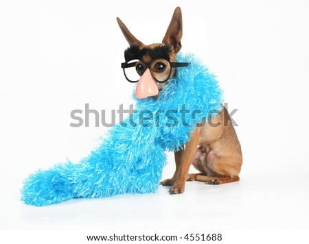 a tiny chihuahua wearing a blue boa